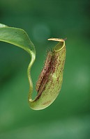 Pitcher Plant Nepenthes species Close_up, Southeast Asia