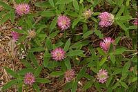 Zig_zag Clover Trifolium medium flowering, Dorset, England