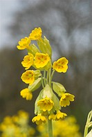 Cowslip Primula veris flowering on mature pasture, Norfolk, England, april