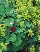 Lady´s Mantle Alchemilla mollis with Rose ´Papa Mailland´ petal