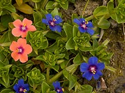 Scarlet Pimpernel Anagallis arvensis ssp caerulea blue form, with scarlet form, flowering, Crete, Greece