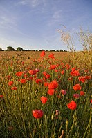 Corn Poppy Papaver rhoeas flowering, at edge of field, early morning, Dorset, England, august