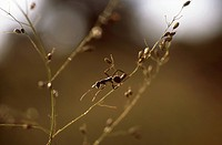 Formicine ant on Guinea Grass, Limpopo Province, South Africa