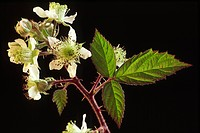 Bramble Rubus fruticosus close_up of flowers and leaves