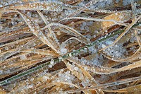 Purple Moor_grass Molinia caerulea dead leaves covered with frost and ice, Powys, Wales, winter