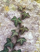 Araliaceae Ivy Hedera helix Close_up of ivy growing on stone wall
