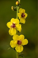 Moth Mullein Verbascum blattaria close_up of flowers, France