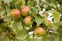 Cultivated Apple Malus domestica ´Suntan´, dessert apple variety, fruit on tree in orchard, Shropshire, England