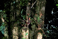 Forest _ Rainforest Close_up of plants growing on tree stumps / Monteverde, Costa Rica