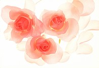 Close_up of pink roses.
