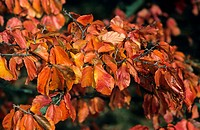 Persian Ironwood Parrotia persica Close_up of leaves _ October