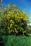 Laburnum Laburnum angyroides In flower _ Sussex _ May FL004451 S