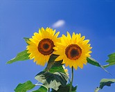 Close_up of sunflowers against sky