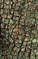 Common Pear Pyrus communis close_up of bark detail, veteran specimen, Somerset, England