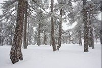 Black Pine Pinus nigra ssp pallasiana forest interior, in late winter snow, High Troodos Mountains, Southern Cyprus