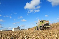 harvest of corn GMO