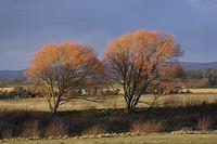 Crack Willow Salix fragilis two trees in winter sunlight, Caerlaverock, Scotland