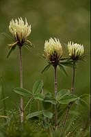 Sulphur Clover Trifolium ochroleucon flowering, rare in Britain