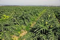 Globe Artichoke Cynara scolymus crop in field, Castroville, California, U S A