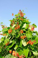 Scarlet Runner Bean Phaseolus coccineus ´Polestar´, flowering, on cane wigwam, homegrown organic crop, Norfolk, England, july