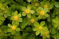 Hacquetia Hacquetia epipactis flowering, Southeast Europe