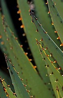 Aloe Aloe sp close_up of leaves, Naukluft Mountains, Namibia