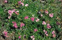 Primula Primula tibetica in flower, Upper Gyamda chu Valley, Kongbo, southeast Tibet