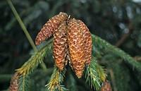 Sargent Spruce Picea brachytyla fruit