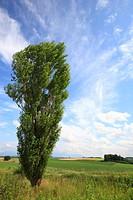 Japan, Hokkaido, Biei, Tree in field
