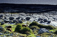 Herd of donkeys in front of a rocky landscape in the Burren at the coast, County Clare, Ireland, Europe