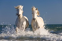 Camargue horses running in water at the beach, Camargue, France