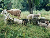 Flock of sheep resting on forest glade
