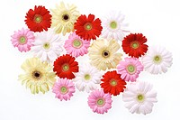 Multi colored Gerber daisies on white background, close_up