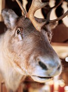 A stuffed reindeer head close_up.