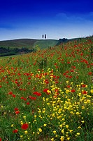 Flower meadow with poppies under blue sky, Val d´Orcia, Tuscany, Italy, Europe