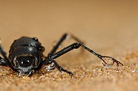 Fog Basking Beetle or Darkling Beetle Onymacris unguicularis drinking from water drops collected on its legs, Namib Desert, Namibia