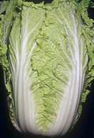 Cabbage, Chinese Cabbage, Napa Brassica rapa var. pekinensis native to China.