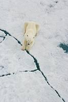 Polar Bear (Ursus maritimus). Spitsbergen, Svalbard, Norway