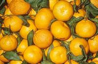 Mandarine variety Satsuma Citrus reticulata