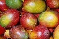 Mango variety Tommy Atkins Mangifera indica