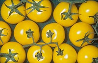 Tomato variety Yellow Vine Solanum lycopersicum