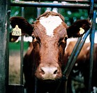 A brown earmarked cow.