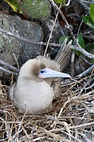 Red footed booby, Sula sula websteri on Galapagos islands sitting on nest