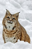 Bobcat lynx rufus in winter