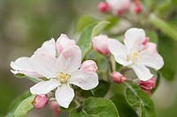 Apple Blossoms and Buds in the Spring.