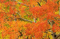 Orange, yellow, and red leaves on an Aspen tree in autumn along the San Miguel River, Colorado, USA Populus tremuloides.