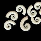 Spirula cephalopod mollusk shells, Australia.
