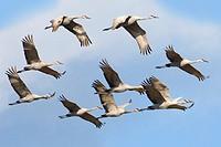 Sandhill cranes Grus americana, central Florida, U.S.A.