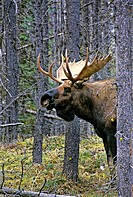 A vertical portrait of bull moose standing in amongst a thick stand of trees.