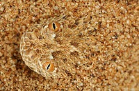 Head of a Peringueys Sidewinding Adder emerging from a sand dune Bitis peringueyi, Namib Desert, Namibia.